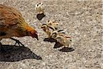 Hen with Chicks, Kauai, Hawaii, USA Stock Photo - Premium Rights-Managed, Artist: Ed Gifford, Code: 700-03865683
