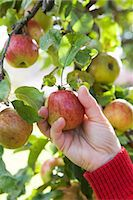 single fruits tree - The hand of a woman picking apples, Sweden. Stock Photo - Premium Royalty-Freenull, Code: 6102-03867305