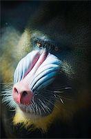 Madril (Mandrillus Sphinx), Zoologico de Chapultepec (City Zoo), District Federal, Mexico City, Mexico, North America Stock Photo - Premium Rights-Managednull, Code: 841-03868636
