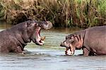Hippo (Hippopotamus amphibius), fighting, Kruger National park, Mpumalanga, South Africa, Africa Stock Photo - Premium Rights-Managed, Artist: Robert Harding Images, Code: 841-03868793