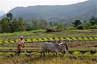 plow - Ploughing an agricultural field, Marayoor, Kerala, India, Asia Stock Photo - Premium Rights-Managednull, Code: 841-03870225