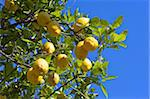 Lemons growing on tree in grove, Sorrento, Campania, Italy, Europe Stock Photo - Premium Rights-Managed, Artist: Robert Harding Images, Code: 841-03871628
