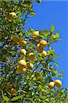 Lemons growing on tree in grove, Sorrento, Campania, Italy, Europe Stock Photo - Premium Rights-Managed, Artist: Robert Harding Images, Code: 841-03871629