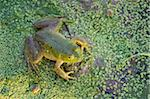 American bullfrog, near Layfayette, Indiana, United States of America, North America Stock Photo - Premium Rights-Managed, Artist: Robert Harding Images, Code: 841-03872721
