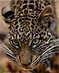 Bujumbura, Burundi. A leopard in the city zoo. Stock Photo - Premium Rights-Managed, Artist: AWL Images, Code: 862-03887452