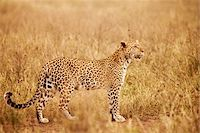 serengeti national park - Tanzania, Serengeti. A leopard boldly stands in the long grasses near Seronera. Stock Photo - Premium Rights-Managednull, Code: 862-03890053
