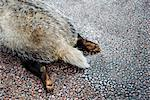 A dead badger on a road, Sweden. Stock Photo - Premium Royalty-Free, Artist: Marie Blum, Code: 6102-03904400
