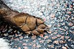 A dead badger on a road, close-up, Sweden. Stock Photo - Premium Royalty-Free, Artist: Graham French, Code: 6102-03904401