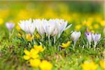 Woodland Crocuses with Eranthis Hyemalis, Cologne, North Rhine-Westphalia, Germany Stock Photo - Premium Royalty-Free, Artist: F. Lukasseck, Code: 600-03907491