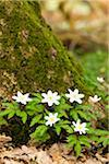 Patch of Anemone Nemorosa by Moss Covered Tree Trunk, Cologne, North  Rhine-Westphalia, Germany Stock Photo - Premium Royalty-Free, Artist: F. Lukasseck, Code: 600-03907495