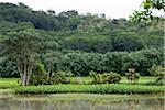 Taro Fields, Kauai, Hawaii, USA