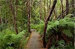 Rainforest along Pieman River, Corinna, Arthur-Pieman Conservation Area, Tasmania, Australia Stock Photo - Premium Rights-Managed, Artist: Jochen Schlenker, Code: 700-03907614
