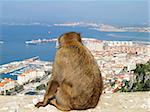 Barbary ape admiring the town of Gibraltar. Stock Photo - Royalty-Free, Artist: hauhu, Code: 400-03908776