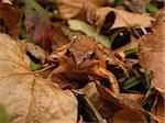 autumn brown frog in the fallen leaves Stock Photo - Royalty-Free, Artist: tupikov, Code: 400-03910040