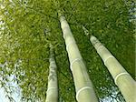 green bamboo trees grow up to blue sky Stock Photo - Royalty-Free, Artist: yuriz, Code: 400-03917008