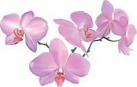 flores - Photorealistic illustration of a beautiful moth orchid. Created with meshes. Stock Photo - Royalty-Freenull, Code: 400-03918971