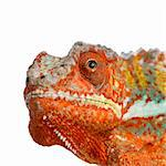 close-up on a Chameleon Furcifer Pardalis in front of a white background and looking at the camera Stock Photo - Royalty-Free, Artist: isselee, Code: 400-03919110
