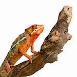 Chameleon Furcifer Pardalis in front of a white background Stock Photo - Royalty-Free, Artist: isselee, Code: 400-03919111