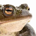 Crapaud commun photographié devant un fond blanc Stock Photo - Royalty-Free, Artist: isselee, Code: 400-03919179