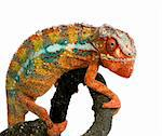 Chameleon Furcifer Pardalis in front of a white background Stock Photo - Royalty-Free, Artist: isselee, Code: 400-03919431