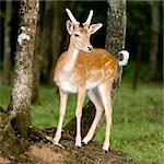 deer in the forest Stock Photo - Royalty-Free, Artist: isselee, Code: 400-03922585
