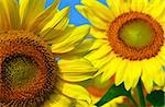 Two sunflowers close up with bright blue sky Stock Photo - Royalty-Free, Artist: Elenathewise, Code: 400-03926358