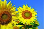 Close up on two sunflowers in blooming sunflower field Stock Photo - Royalty-Free, Artist: Elenathewise, Code: 400-03927771