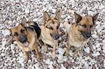 Three German shepherds sitting on a sea pebble Stock Photo - Royalty-Free, Artist: Koljambus, Code: 400-03927982
