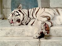 White tiger lying down Stock Photo - Royalty-Freenull, Code: 400-03928189