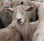 A sheep with a distinctive ear mark Stock Photo - Royalty-Free, Artist: MargoJH, Code: 400-03928895