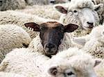 A black faced sheep with a distictive ear mark Stock Photo - Royalty-Free, Artist: MargoJH, Code: 400-03929015