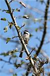 A Chickadee pauses on a branch Stock Photo - Royalty-Free, Artist: SeattleDigital, Code: 400-03929328