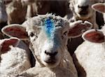 A sheep with a blue mark on its face Stock Photo - Royalty-Free, Artist: MargoJH, Code: 400-03929513