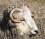 A white sheep with black striped horns Stock Photo - Royalty-Free, Artist: MargoJH, Code: 400-03929912
