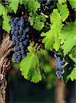 Close up of an italian wine grapes