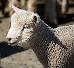 Portrait of a lamb Stock Photo - Royalty-Free, Artist: MargoJH, Code: 400-03931821