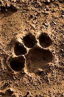 lion footprint in mud Stock Photo - Royalty-Freenull, Code: 400-03931916