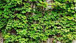old wall covered by fresh green ivy branches and leaves Stock Photo - Royalty-Free, Artist: yuriz, Code: 400-03934001