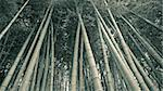 giant green bamboo trees grow up to sky, wideangle panoramic  image panoramic Stock Photo - Royalty-Free, Artist: yuriz, Code: 400-03936576