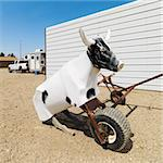 Practice lasso cow dummy on ranch. Stock Photo - Royalty-Free, Artist: iofoto, Code: 400-03937834