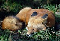 A close-up portrait of a Red Fox sleeping Stock Photo - Royalty-Freenull, Code: 400-03938460
