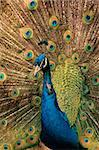 Colorful male peacock (Pavo cristatus) displaying       Stock Photo - Royalty-Free, Artist: EcoShow, Code: 400-03939093
