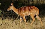 Female Nyala antelope (Tragelaphus angasii), Sabie-Sand nature reserve, South Africa Stock Photo - Royalty-Free, Artist: EcoShow, Code: 400-03942578