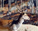 Picture of a beautiful Fallow Deer (Dama dama) in a colorful forest Stock Photo - Royalty-Free, Artist: nialat, Code: 400-03942847