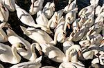 A large group of swans feeding on the River Thames, England