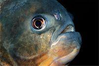 piranha fish - Portrait of a piranha fish       Stock Photo - Royalty-Freenull, Code: 400-03944326