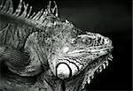 Portrait of a lizard close-up   Stock Photo - Royalty-Free, Artist: Friday, Code: 400-03944334