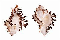 Murex Seashells isolated on white background Stock Photo - Royalty-Freenull, Code: 400-03950010