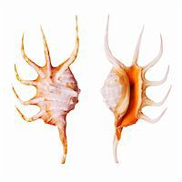 Orange Spider Conch shells isolated on white background Stock Photo - Royalty-Freenull, Code: 400-03950034