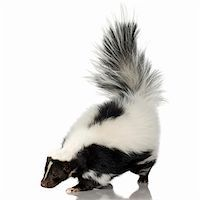 smelly - Striped Skunk - Mephitis mephitis in front of a white background Stock Photo - Royalty-Freenull, Code: 400-03953116
